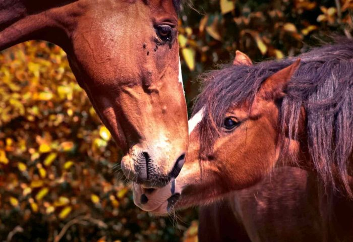 Herzverbindung zu Pferden Basics - Selbstlernkurs